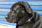 台灣高山犬:DPP_4864.JPG