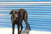 台灣高山犬:DPP_4865.JPG