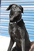 台灣高山犬:DPP_4866.JPG
