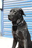 台灣高山犬:DPP_4867.JPG