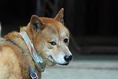 日本柴犬:DPP_6054.JPG