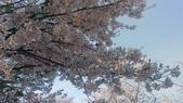 20190414永登浦汝矣島櫻花大道:2019041韓國永登浦汝矣島】櫻花大道( (7).jpg