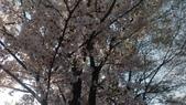 20190414永登浦汝矣島櫻花大道:2019041韓國永登浦汝矣島】櫻花大道( (2).jpg