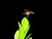 螢火蟲(台灣窗螢)的世界-壽豐雲山水自然生態農莊:DSC05260.jpg