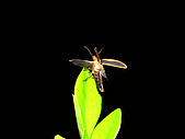 螢火蟲(台灣窗螢)的世界-壽豐雲山水自然生態農莊:DSC05267.jpg
