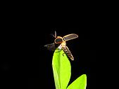 螢火蟲(台灣窗螢)的世界-壽豐雲山水自然生態農莊:DSC05276.jpg
