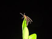 螢火蟲(台灣窗螢)的世界-壽豐雲山水自然生態農莊:DSC05282.jpg