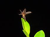 螢火蟲(台灣窗螢)的世界-壽豐雲山水自然生態農莊:DSC05296.jpg