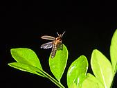 螢火蟲(台灣窗螢)的世界-壽豐雲山水自然生態農莊:DSC05303.jpg