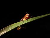 螢火蟲(台灣窗螢)的世界-壽豐雲山水自然生態農莊:台灣窗螢10.JPG