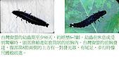 螢火蟲(台灣窗螢)的世界-壽豐雲山水自然生態農莊:螢火蟲的世界-02.jpg