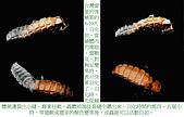 螢火蟲(台灣窗螢)的世界-壽豐雲山水自然生態農莊:螢火蟲的世界-05.jpg