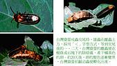 螢火蟲(台灣窗螢)的世界-壽豐雲山水自然生態農莊:螢火蟲的世界-06.jpg