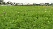 2008/01/25 豐田地區花海 :P1050175.jpg