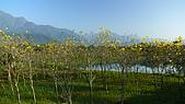 2008 黃花風鈴的盛宴:P1080934.jpg
