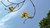 2008 黃花風鈴的盛宴:P1070385.jpg