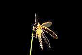 螢火蟲(台灣窗螢)的世界-壽豐雲山水自然生態農莊:DSC04571台灣窗螢.JPG