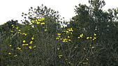 2008 黃花風鈴的盛宴:P1080392.jpg