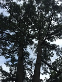 在水一方--初秋記遊之丹後天橋立海上沙洲閒情散策:●一棵從母株分為兩棵的筆直黑松,被命名為「夫婦松」02.JPG