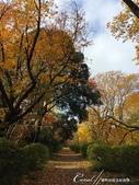 紅葉飄飄15日東京自由行--閃耀著童話森林般迷人色彩的小石川植物園:30●無論是金黃色的康莊大道,或是帶點遐想通往未知的枯黃色林蔭,園區內處處都精采.JPG