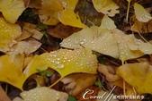 小石川植物園以極優美姿態翩翩落下的樹葉:04.JPG