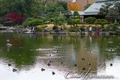 紅葉飄飄15日東京自由行--清澄庭園:23●欣賞池中的魚、水上的鴨和倒映在水中的樹,是來此庭園的一大樂事01.JPG