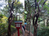 紅葉飄飄15日東京自由行--高尾山:25●Wow!看這株姿態妖嬈的樹!這麼形容可不是詆毀,而是讚嘆大自然巧妙的傑作──枝體多麼的柔軟,可以如此纏繞.png