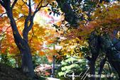 紅葉飄飄15日東京自由行--殿ヶ谷戸庭園:23●高低錯落的崖間,種植了赤松、楓樹與竹,顯現了多重生態下相互輝映的美貌.JPG