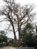 2017關東10日樂得自在:●安靜的神社內,好大一棵夫妻樹.JPG