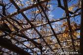 紅葉飄飄15日東京自由行--雖滿園蕭瑟卻也難掩風雅的向島百花園:20●曾在不同季節開滿葛、三葉通草等花朵的花架.JPG