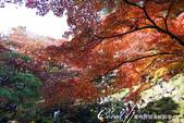 殿ヶ谷戸庭園的深秋楓葉,如火如荼、如烈燄灼燒一般無窮盡的美麗:03.JPG