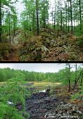 2019夏季內蒙草原風光與貝加爾湖詩意之約(5)--詩意盎然的阿爾山國家森林公園:12●石塘林的奇觀不止鋪滿山間溝谷的黑色火山熔岩,還有從縫隙中長出來的各種植物.png