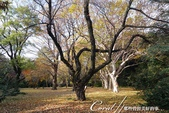 紅葉飄飄15日東京自由行--閃耀著童話森林般迷人色彩的小石川植物園:23●樹的千姿百態.JPG