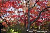 殿ヶ谷戸庭園的深秋楓葉,如火如荼、如烈燄灼燒一般無窮盡的美麗:12.JPG