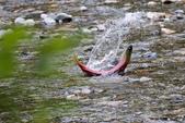 2018加拿大四年一度鮭魚洄遊V.S.洛磯山脈國家公園健走趣(5-2)--亞當河鮭魚寫真:03.jpg