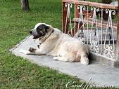 2019Amazing!穿越古絲路上的中亞五國之旅(11-)--土庫曼斯坦之汗血寶馬:04●在活動開場前,我們可以在園區內繞繞,近距離與中亞地區的動物做接觸,首先,一群人看到的是超大隻中亞牧羊犬.