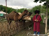 2019Amazing!穿越古絲路上的中亞五國之旅(11-)--土庫曼斯坦之汗血寶馬:06●除了牧羊犬,復育中心區內還圈養了幾隻單峰駱駝,這種外貌詼諧、生氣時會吐口水的沙漠之舟也引起眾人迴響,前