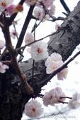 2017關東10日樂得自在:●還是有一株在惡劣天候中早開的櫻花.JPG