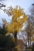 紅葉飄飄15日東京自由行--我在小石川植物園:49●不必耐心排隊等候,筆直的銀杏只屬於眼前經過的那個人,鋪下的金黃色地毯任人流漣.JPG