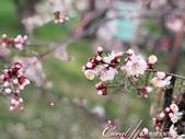 2019Amazing!穿越古絲路上的中亞五國之旅(8-1)--塔吉克斯坦之伊斯坎達爾湖:13●欣見一片梅樹或李樹林,讓大家異常的興奮.jpg