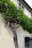 2018不思議之克、斯、義秘境歐遊記(1)--斯洛維尼亞古城巡禮:45●德拉瓦河畔的聞名景點。一株400多年歷史;至今仍能生產葡萄製酒的葡萄樹.JPG