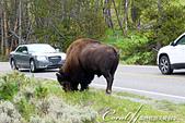 2019自駕隨性之旅(06)--100個死前必去景點之黃石國家公園巨獸出沒:04●通過美洲野牛時,減速慢行,找到安全的位置停好,勿喧嚷、奔跑引來野牛注意,尊重人與動物間的接觸模式.jpg