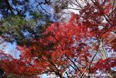 紅葉飄飄15日東京自由行--殿ヶ谷戸庭園:32●前景是楓紅,背景是藍天的好風光.JPG