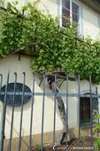 2018不思議之克、斯、義秘境歐遊記(1)--斯洛維尼亞古城巡禮:43●德拉瓦河畔的聞名景點。一株400多年歷史;至今仍能生產葡萄製酒的葡萄樹.JPG