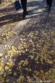 紅葉飄飄15日東京自由行--大学通り:07●這條人來人往的大道上,灑滿一地銀杏,一股腦兒接受楓紅洗禮的同時,幾乎忘了黃澄澄的銀杏也是秋的代表性植物.