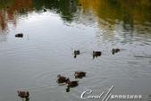 紅葉飄飄15日東京自由行--清澄庭園:26●欣賞池中的魚、水上的鴨和倒映在水中的樹,是來此庭園的一大樂事05.JPG