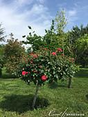 2019Amazing!穿越古絲路上的中亞五國之旅(15-1)--烏茲別克斯坦之哈斯特伊瑪目廣場:04●至今玫瑰、薔薇與月季仍傻傻分不清的我,只能欣賞它的美色,無從分析它的品種了.JPG