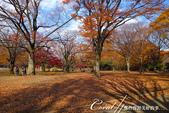 紅葉飄飄15日東京自由行--代代木公園:27●不同層次紅的櫸樹林,帶來獨有的美好氛圍.JPG