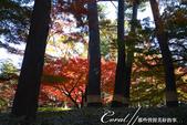 紅葉飄飄15日東京自由行--大田黑公園:27●庭園內栽種著杉樹、櫸樹等百年樹木,因此成為東京紅葉名所之一.JPG