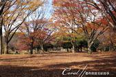 紅葉飄飄15日東京自由行--代代木公園:29●不同層次紅的櫸樹林,帶來獨有的美好氛圍.JPG
